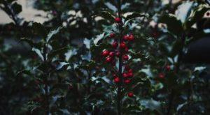 Godži bobice – antioksidant – aminokiselina – nutritivni sastav