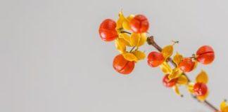 Godži bobice – najbolji sastojak za mršavljenje