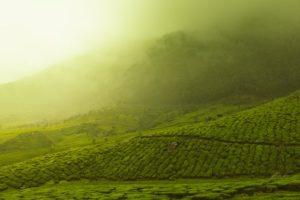 Zeleni čaj – napitak za mršavljenje – lekovita svojstva – antioksidant